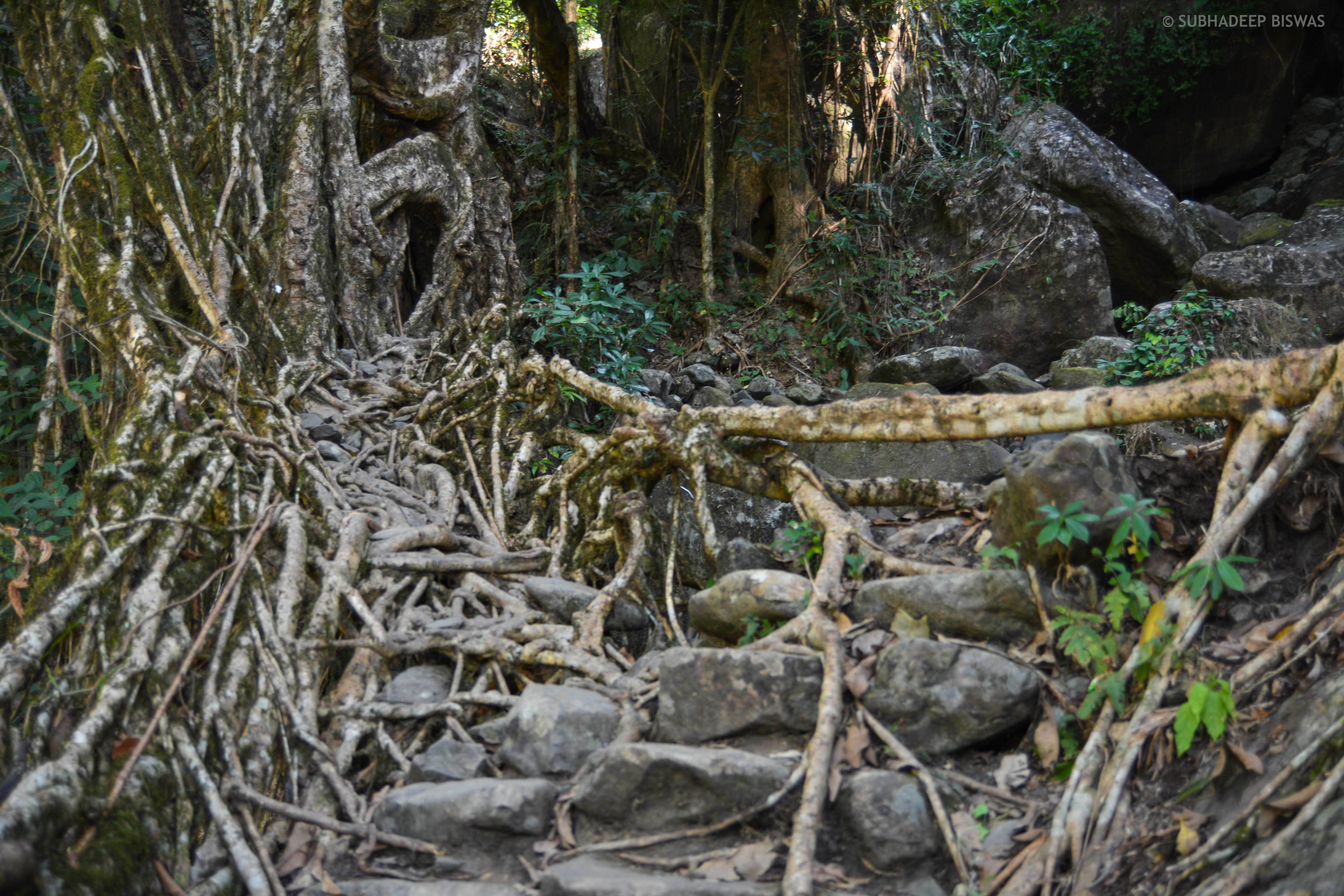 One of the living root bridges on the way to the Rainbow Waterfall