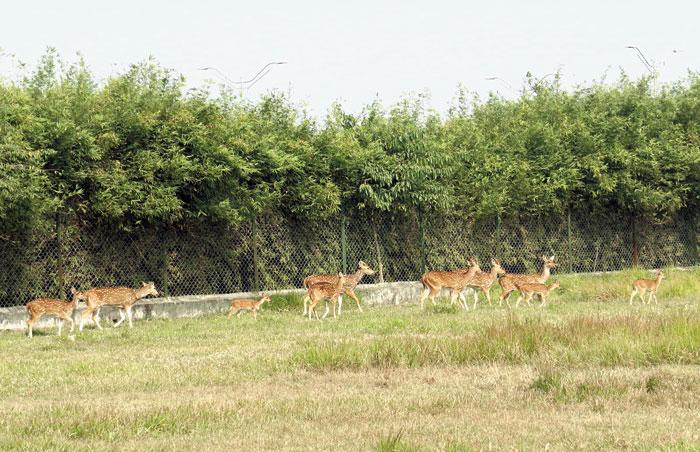 Spotted deer in an enclosure at Harinalaya