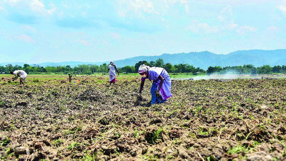 Farmers work in a paddy field at Dharamtul in Assam's Morigaon district during the lockdown.