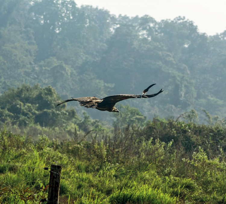 Another of the released vultures
