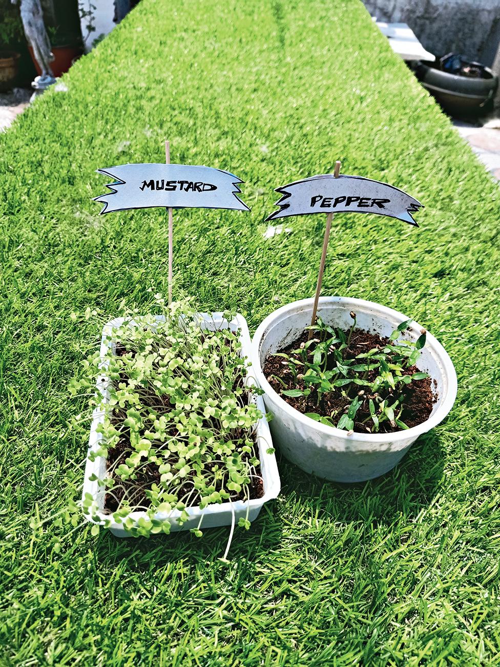 Snapshots from Abhishek's DIY lockdown diary: Grow your own microgreens and herbs