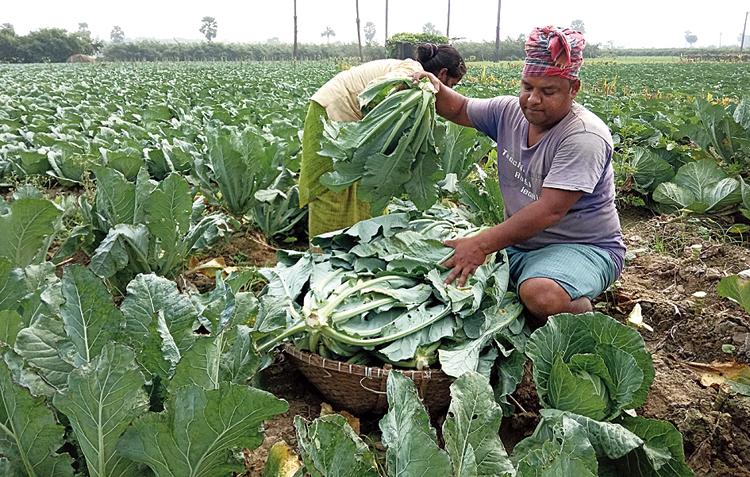 A farmer collets cauliflower in East Burdwan's Kalna.