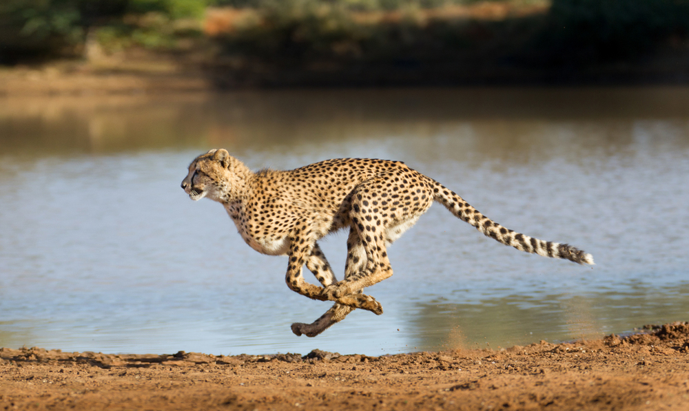 The National Tiger Conservation Authority (NTCA) had sought the court's permission to relocate cheetahs from Namibia