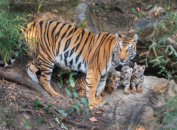Not only have 727 elephants died in the state since 2010, but the tiger population has also not improved despite crores being spent on conservation.