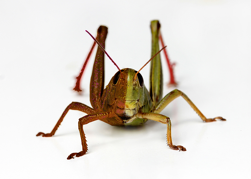 A locust is a special type of short-horned grasshopper. The type recently spied in Africa and Asia has been identified as the Schistocerca gregaria or the desert locust.