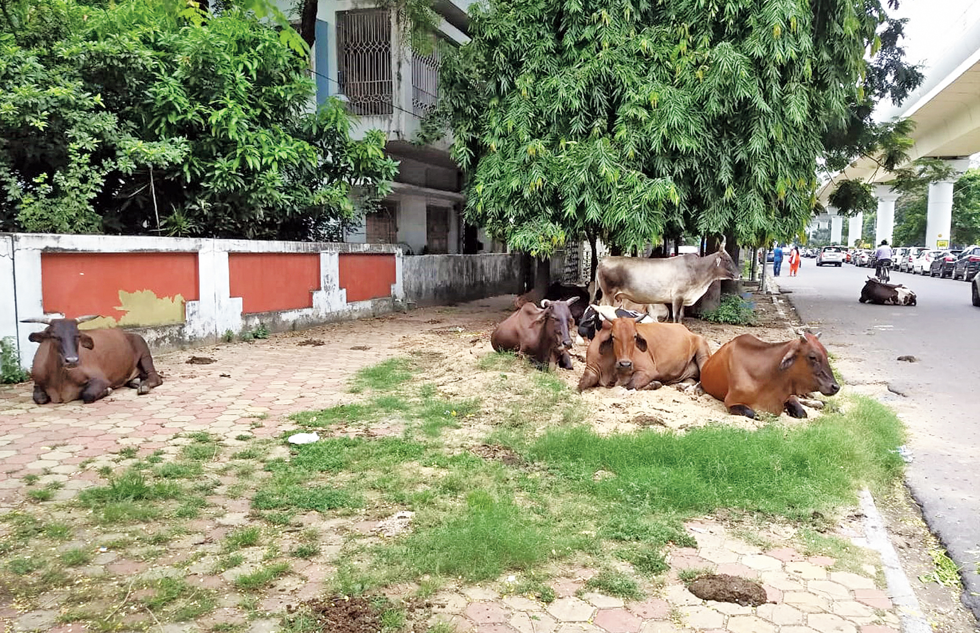Cows rest on a pavement splattered with dung near City Centre in Salt Lake on Monday.