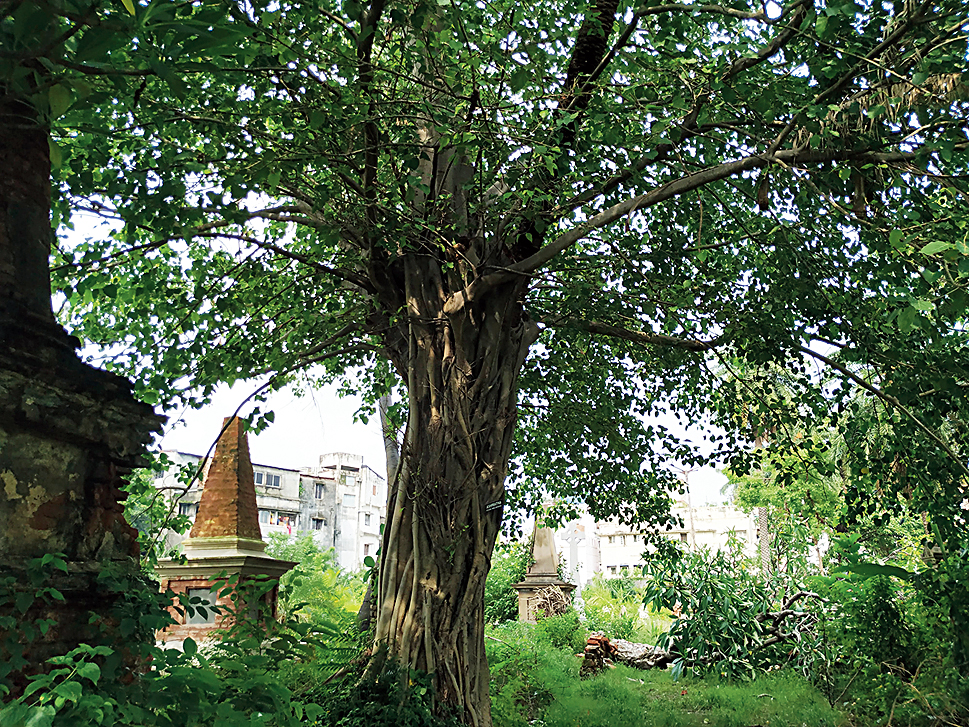 A peepal straddling an ancient palm (dark trunk emerging from the thick outer trunk) at the Scottish Cemetery.