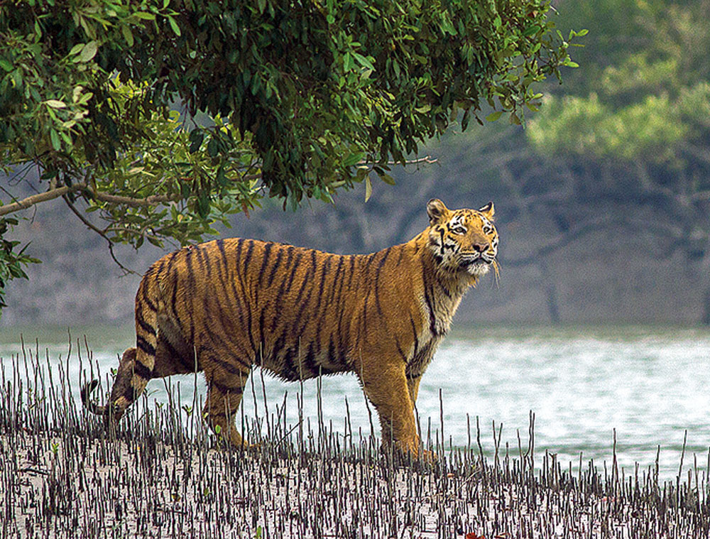 In about 50 years from now, the Sunderbans are likely to be depleted of the Royal Bengal tiger.