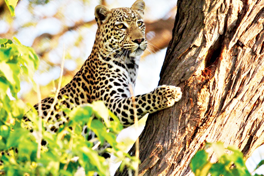 A leopard on a treetop waiting for a prey