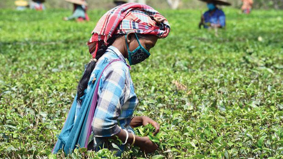 The Assam cabinet on May 8, following other BJP-ruled states, approved changes in labour laws in a bid to boost the economy which has come to a grinding halt because of the lockdown. The measures include introduction of fixed-term employment and increase in shift duty of tea garden workers from eigh
