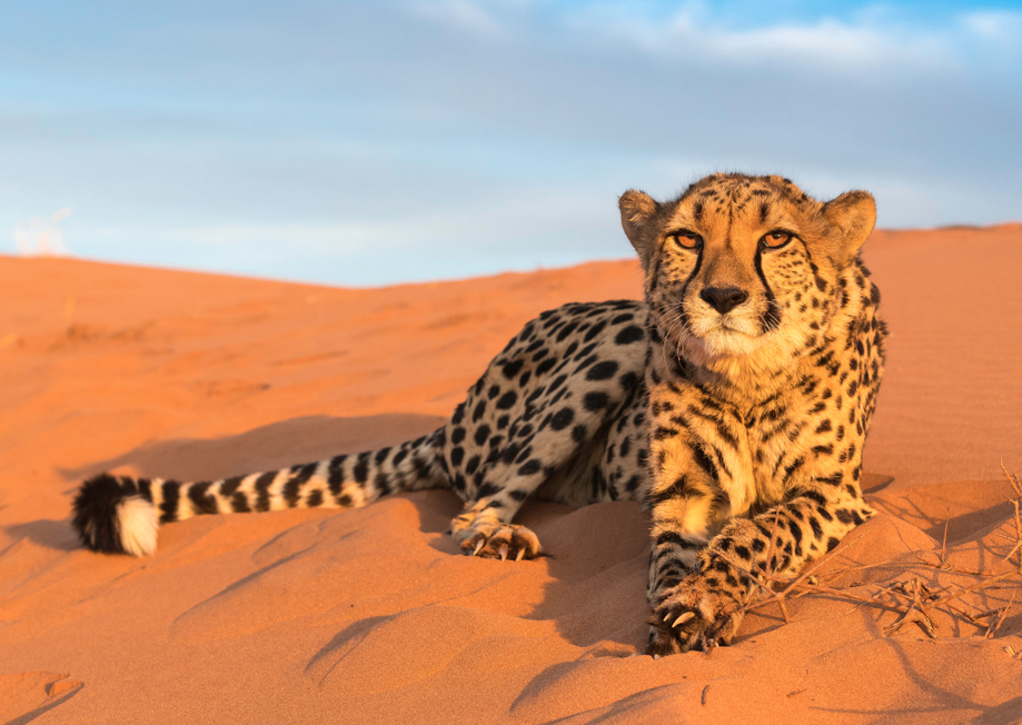 SC eye on African cheetah relocation