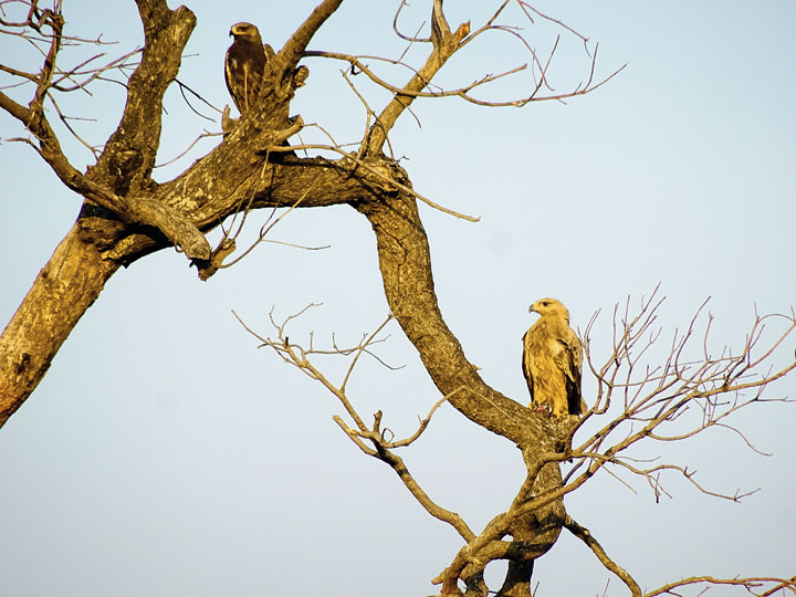 Rare Sight: Tawny eagles in Hazaribagh on Thursday.