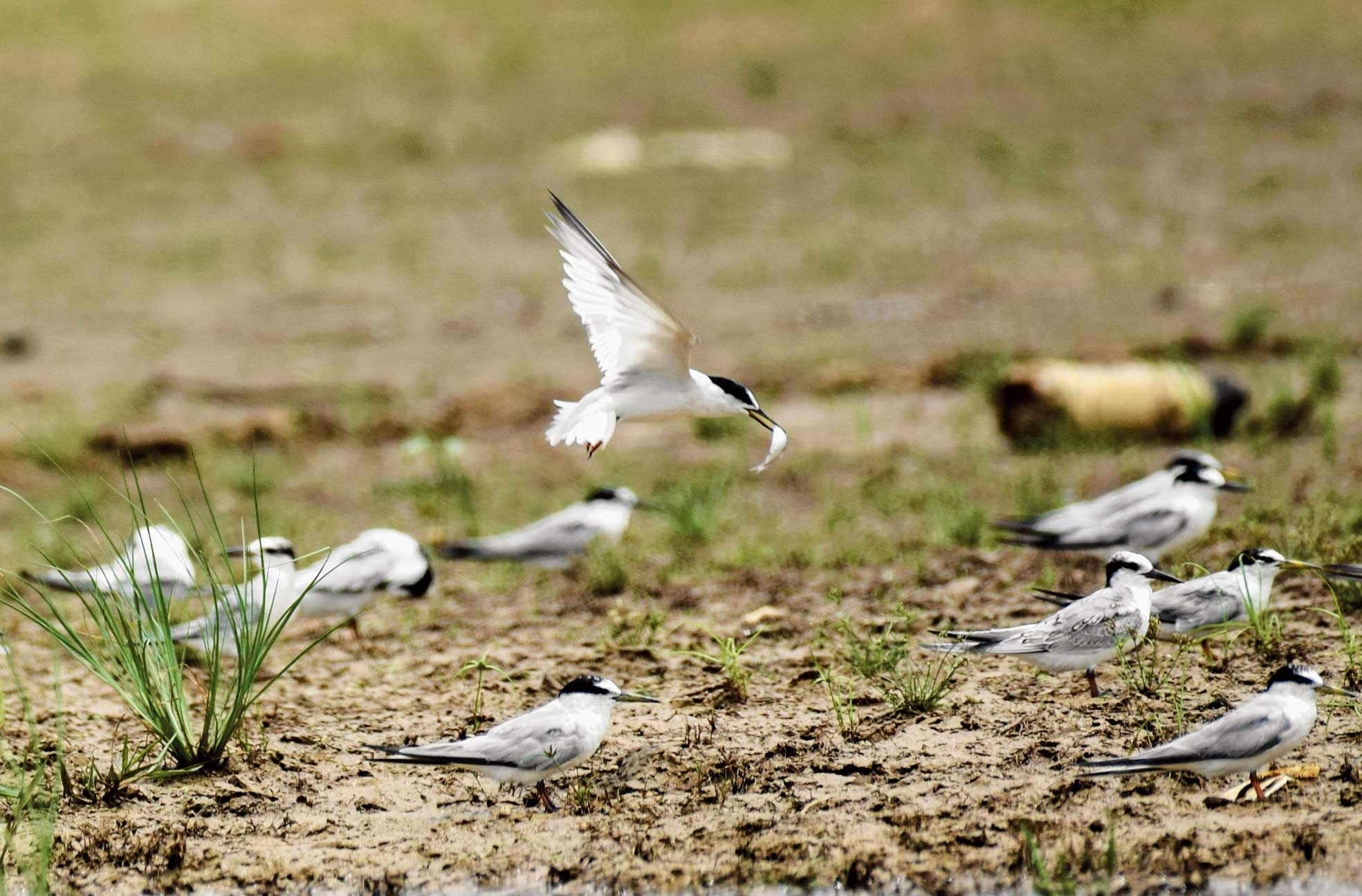 Terns hunt for food at Maithon Dam in Dhanbad on Thursday.