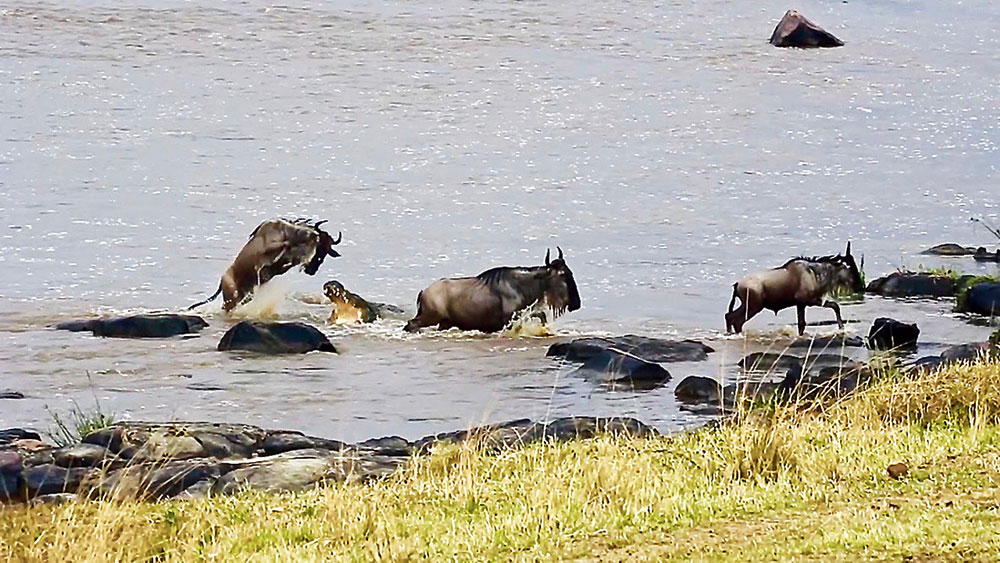 Nothing had prepared me for this 'reality show' — the sound of a million hooves, the fear in their eyes before they crossed, the display of bravery as they jumped over the menacing jaws of the crocodile