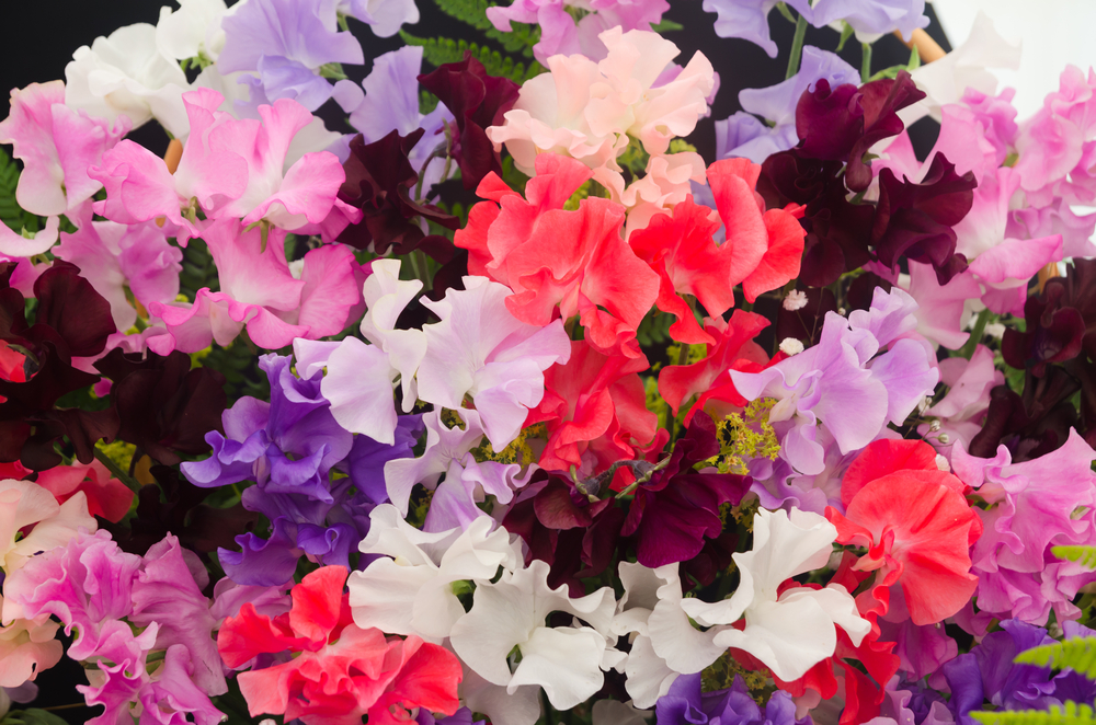 Sweetpea:  This garden climber is valued and widely cultivated for its range of flower colours, elegant form, fragrance, and utility as a cut flower.