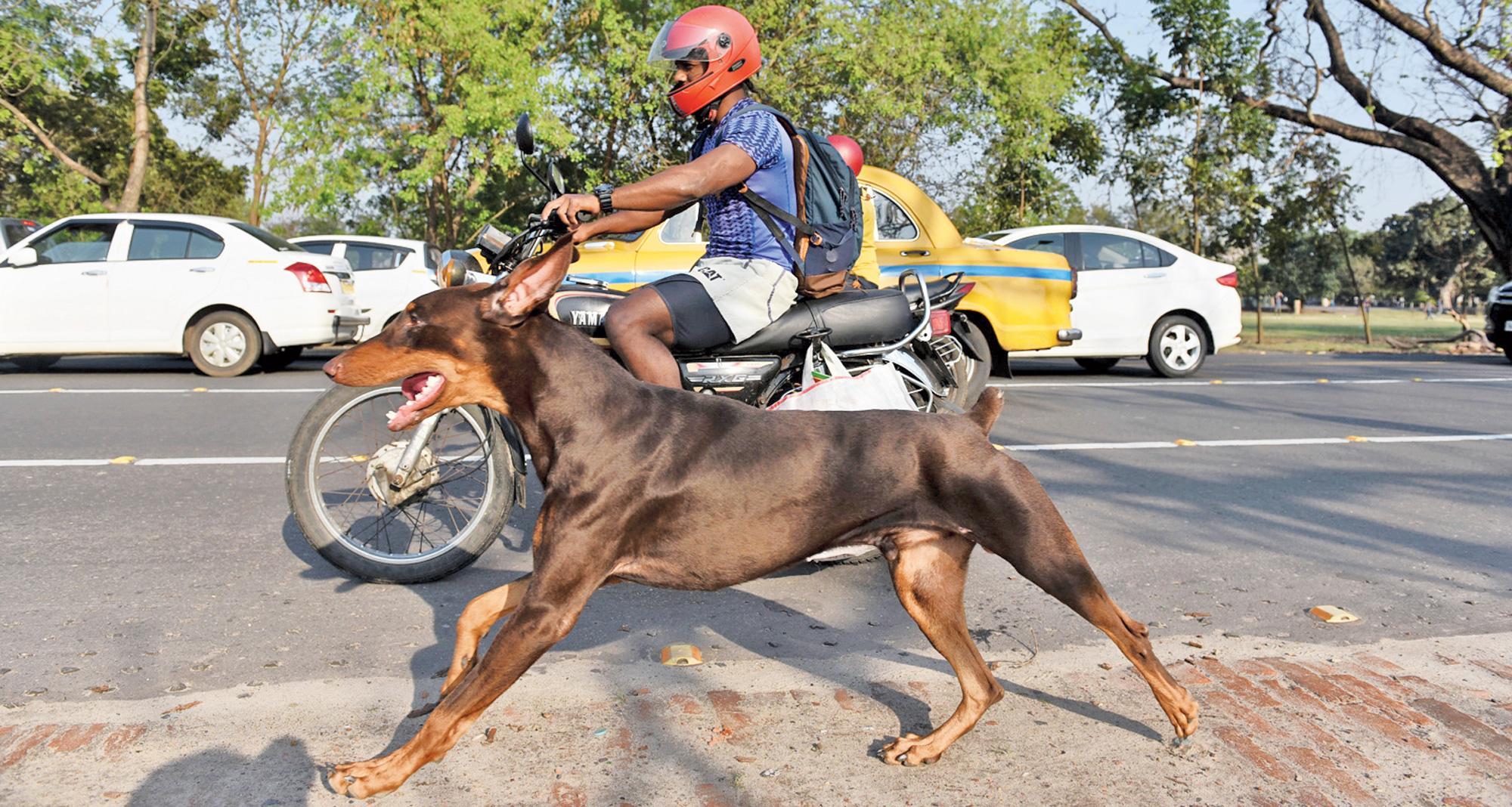 Jack the Doberman runs alongside its master Sailen Tudu on their way to the Maidan from Alipore.