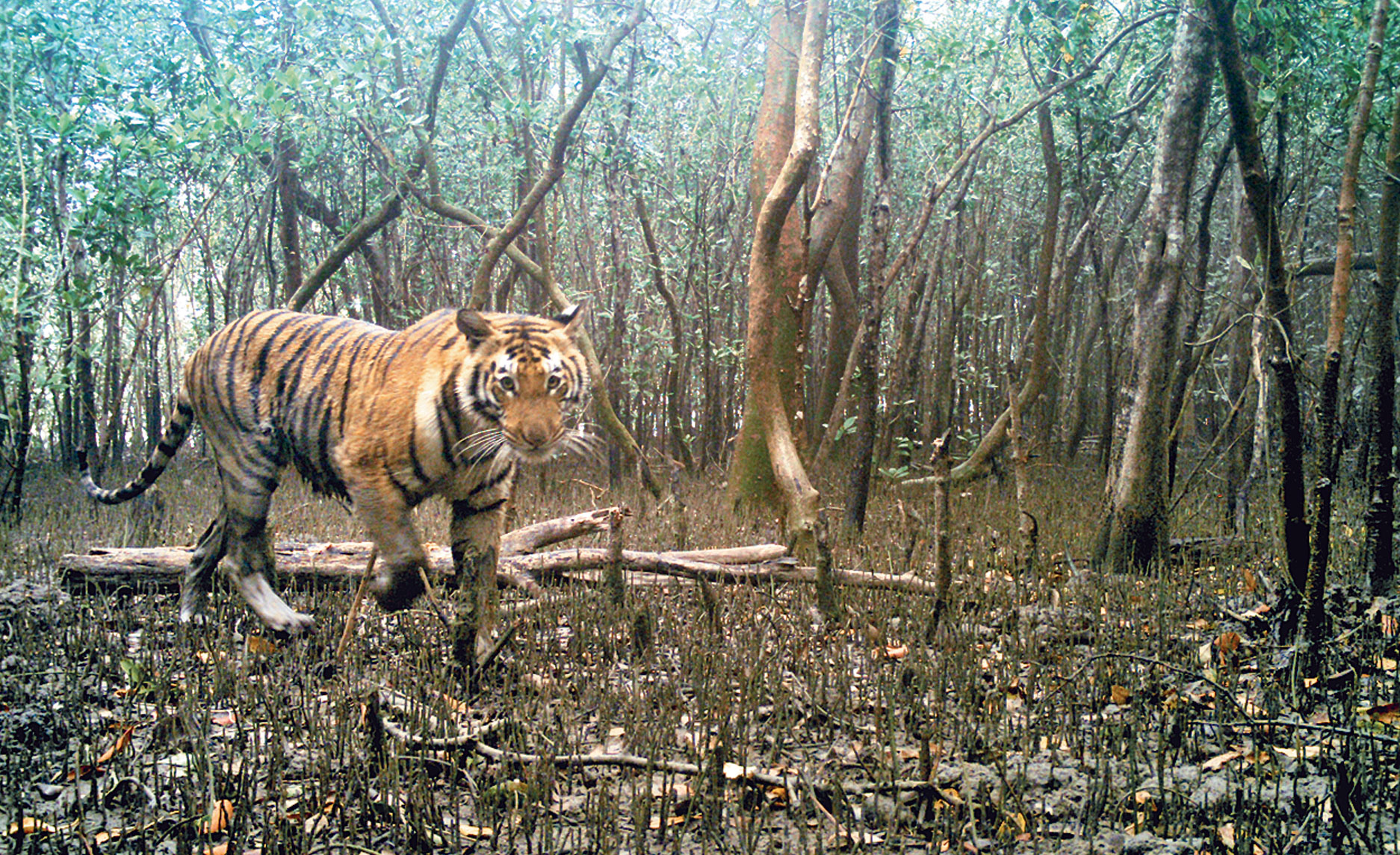 Tiger images captured by camera traps in the Sunderbans as part of the 2018 census