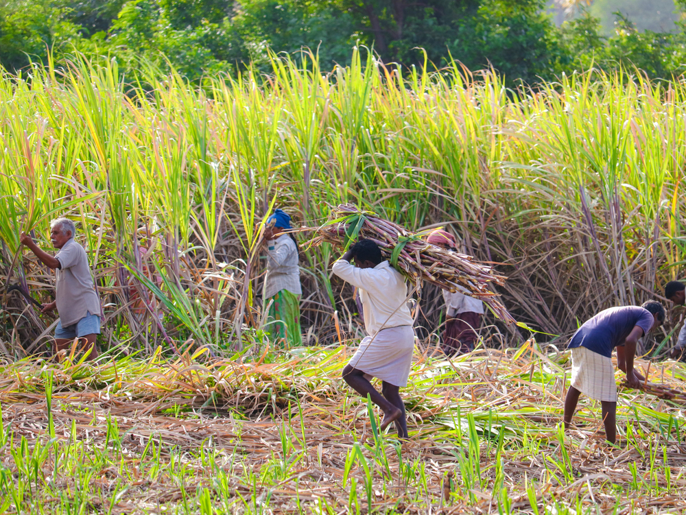 Sugarcane farmers. Nearly 50 per cent of the workforce is still employed in agriculture with a continuous decline in its contribution to GDP