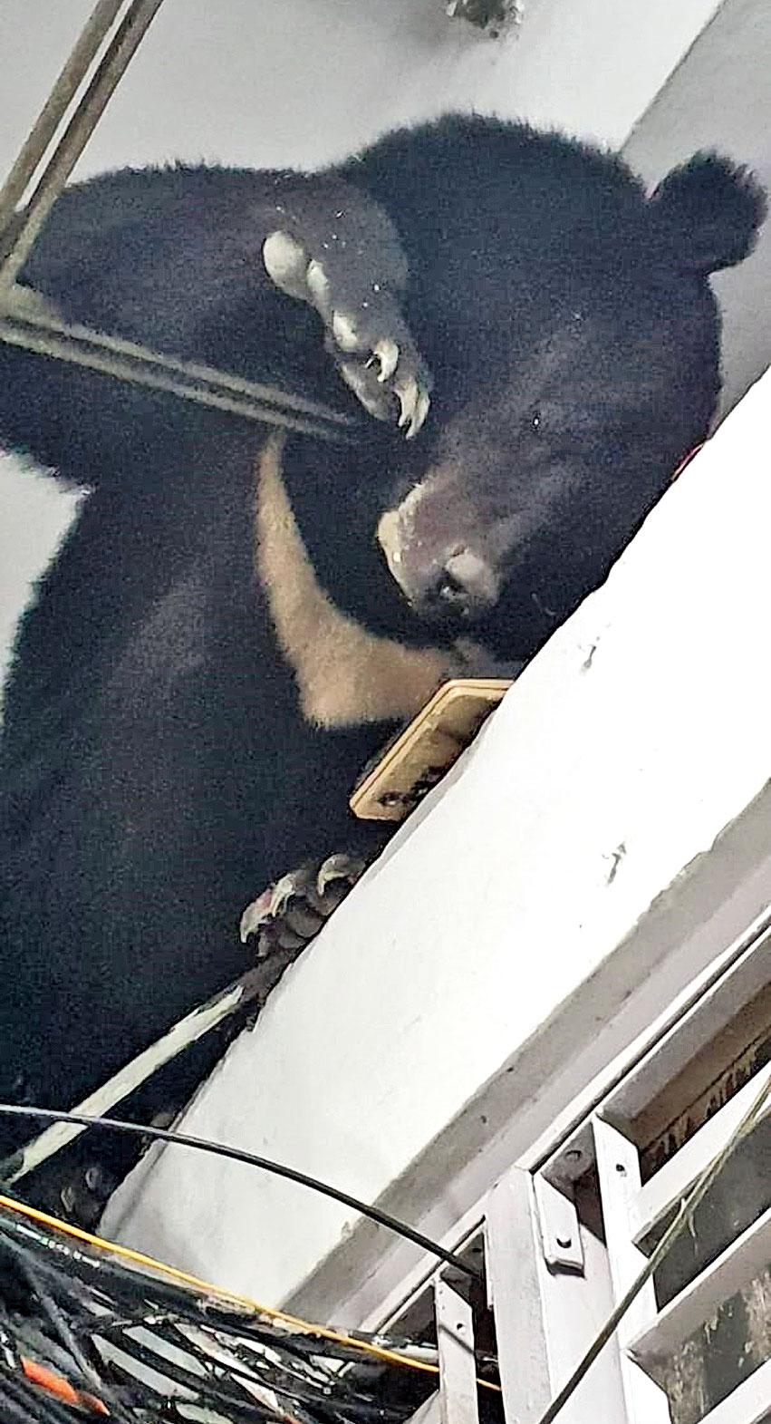The bear inside the BSNL building in Gangtok on Wednesday