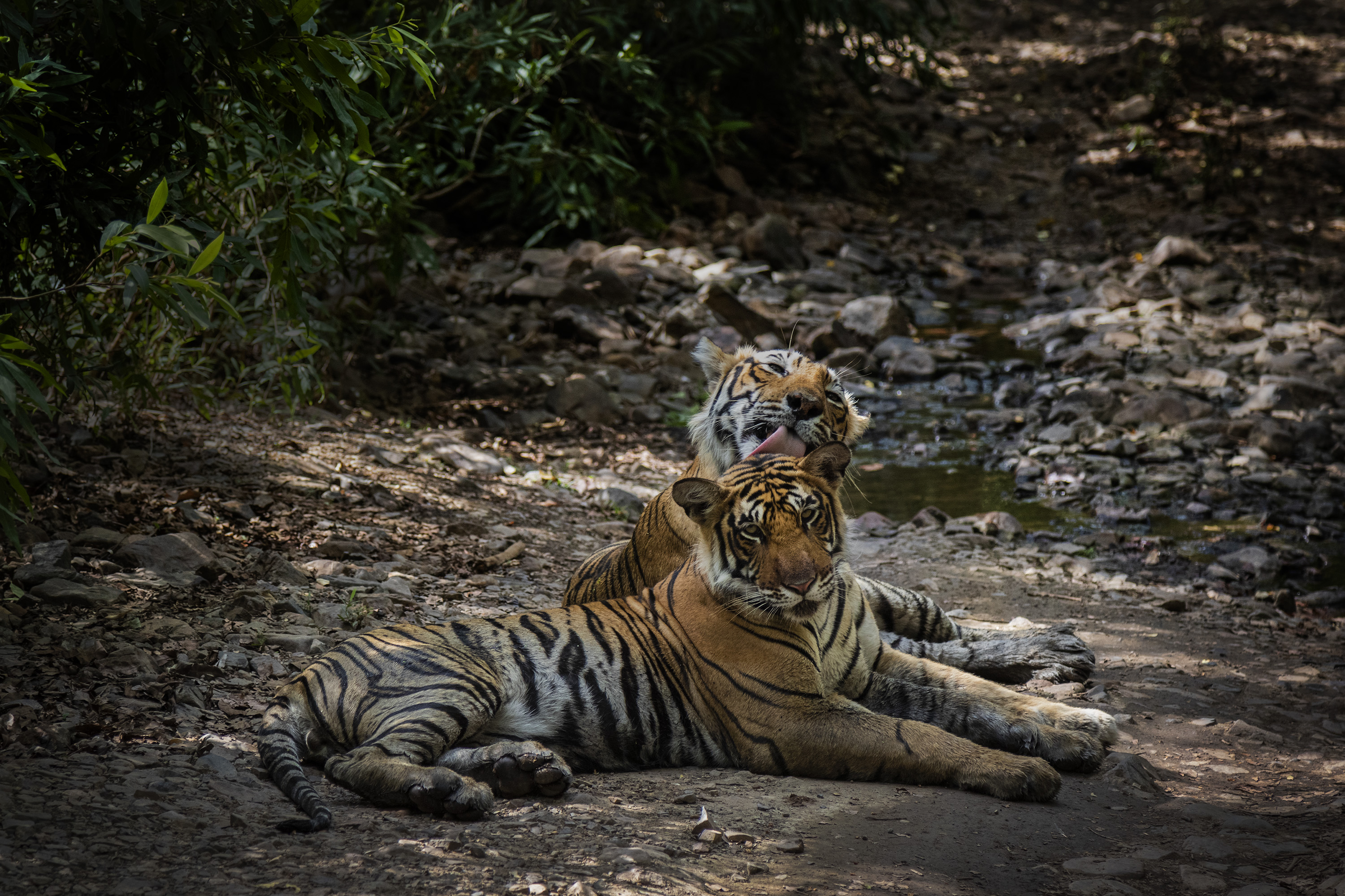 A tigress grooms her cub by licking its fur, as they rest by a pool. Cubs tend to stay with their mothers till the age of two. Location: Ranthambore