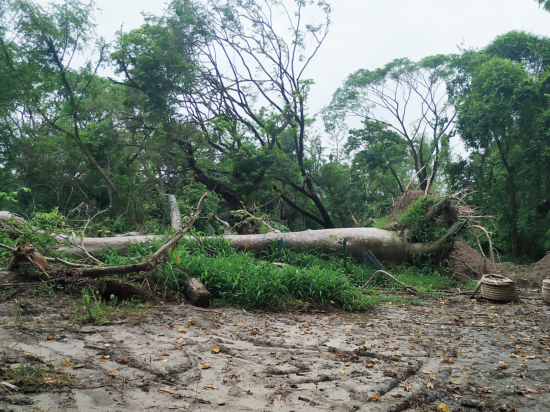 Efforts are on by garden officials to help the baobab stand again.