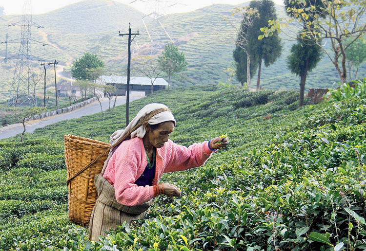Quality key: February 21 is the day for the production to begin in the tea gardens of the Darjeeling hills