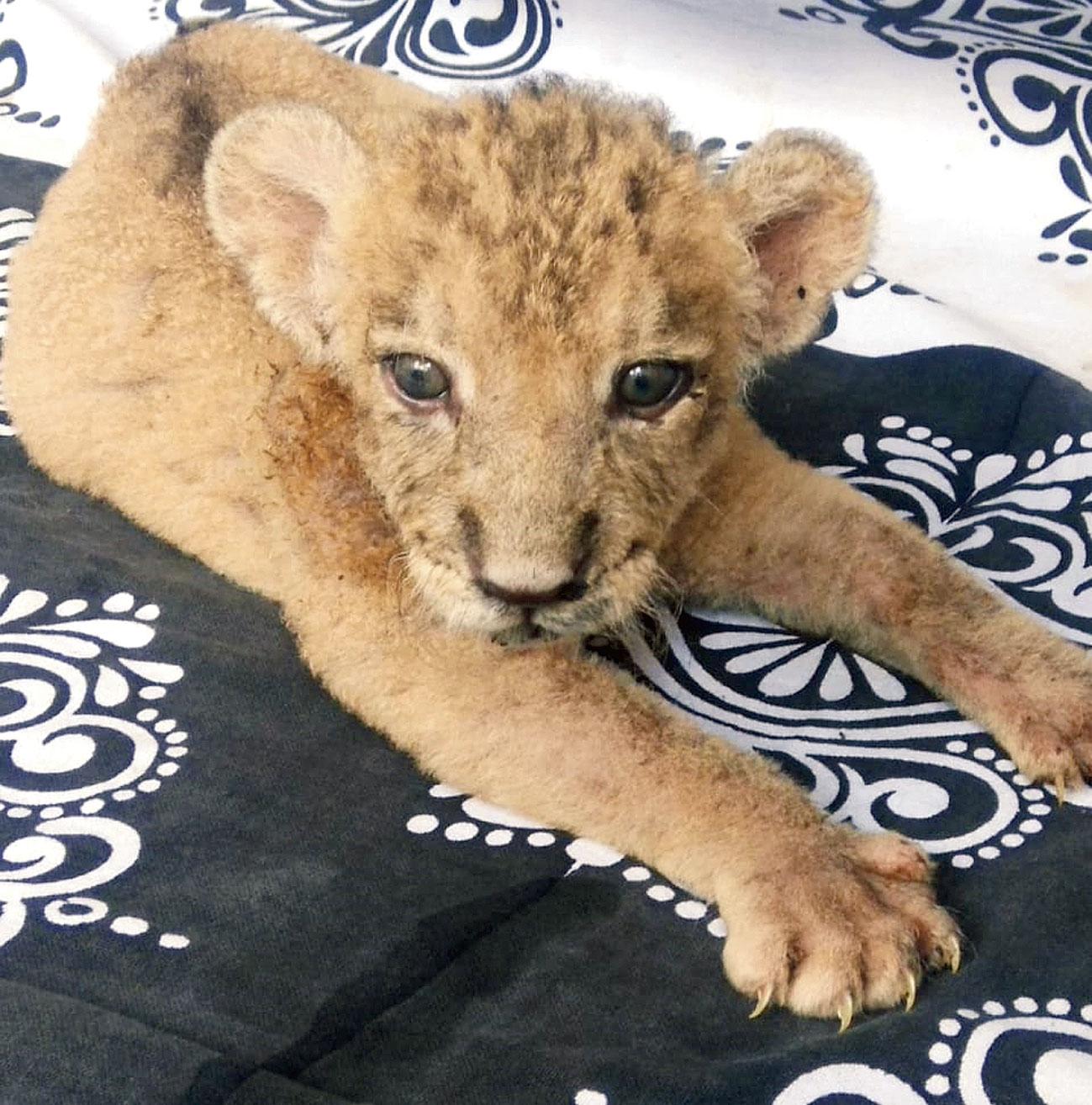 The abandoned cub at Alipore zoo hospital.