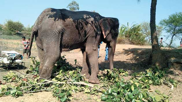 The rescued female elephant in Deoghar on Sunday.