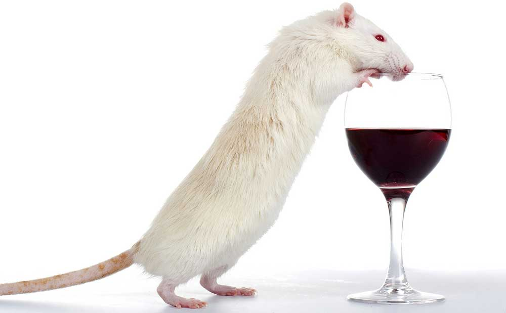 Alcoholism successfully reversed in mice