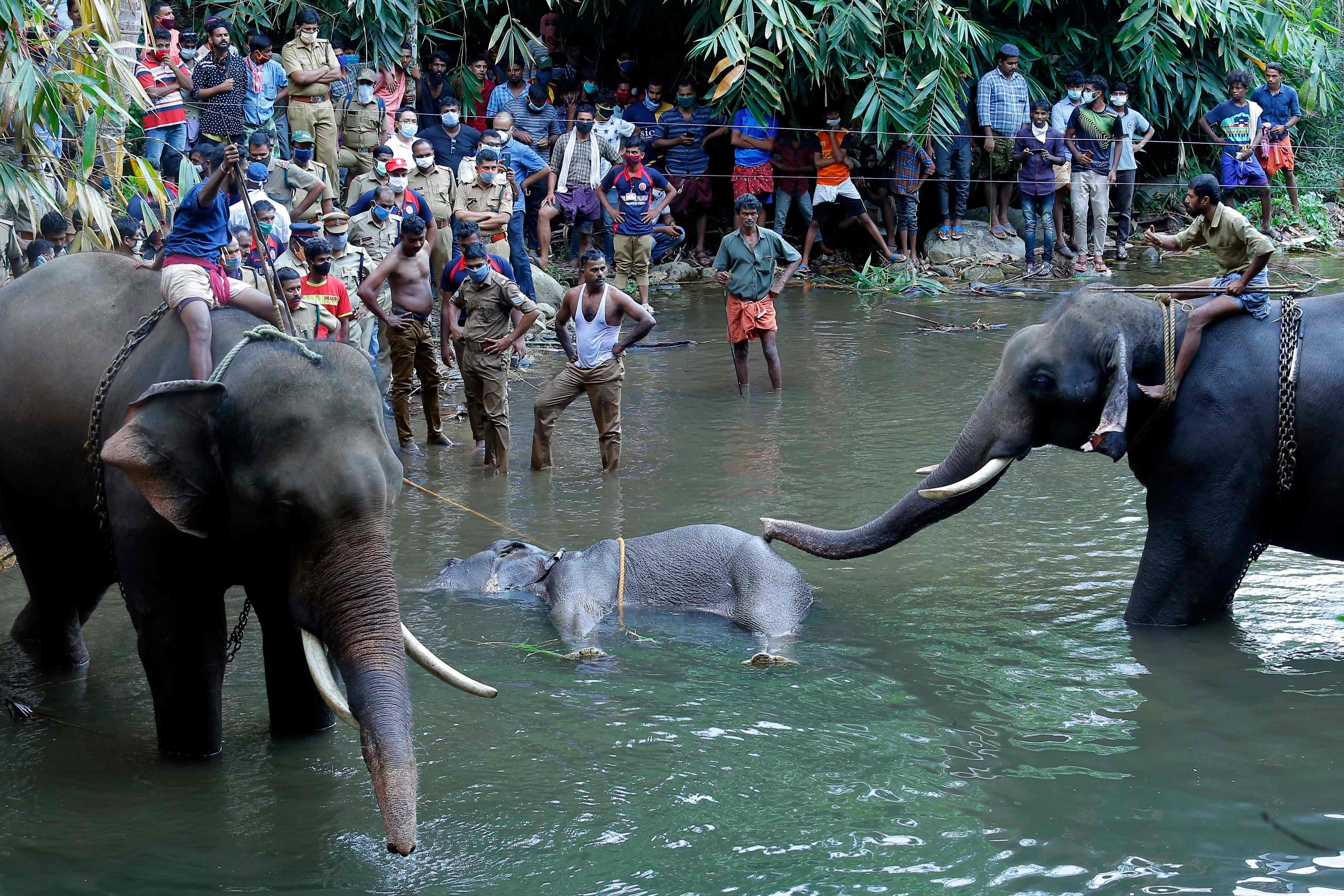 This May 27, 2020 photo show elephants standing by a 15-year-old pregnant wild elephant who died after suffering injuries, in Velliyar River, Palakkad district of Kerala.
