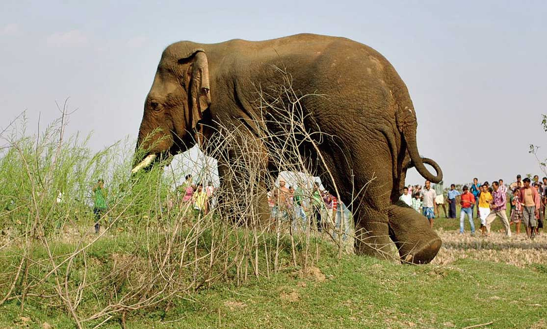 """A forester said elephants were no longer getting """"scared of fire crackers or strong torch lights"""""""