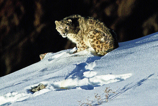 One of Mukherjee's iconic shots of a snow leopard in Spiti Valley