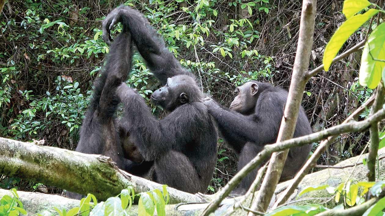 Male chimpanzees in the Loango National Park, Gabon.