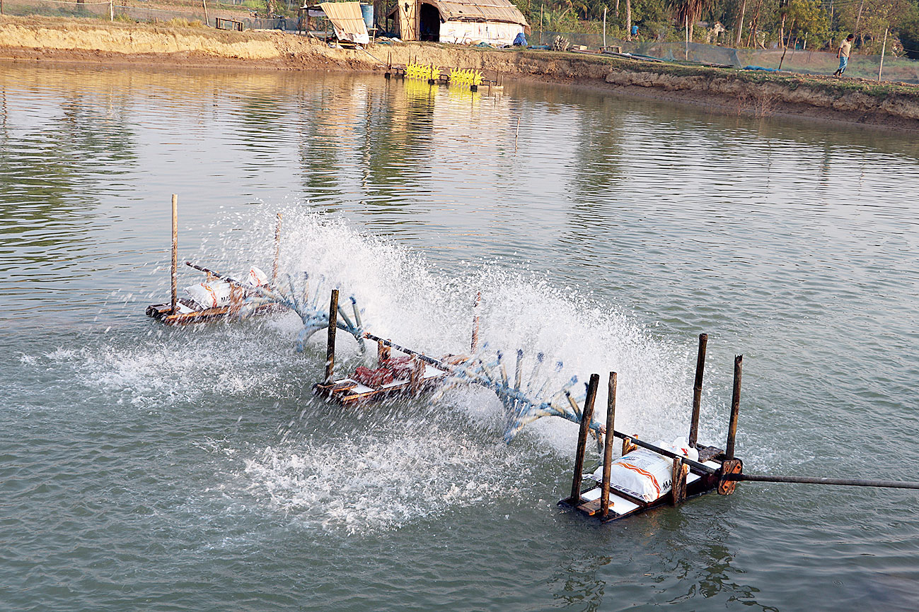 High salt: Farmlands in Tajpur, which are now being used for prawn cultivation