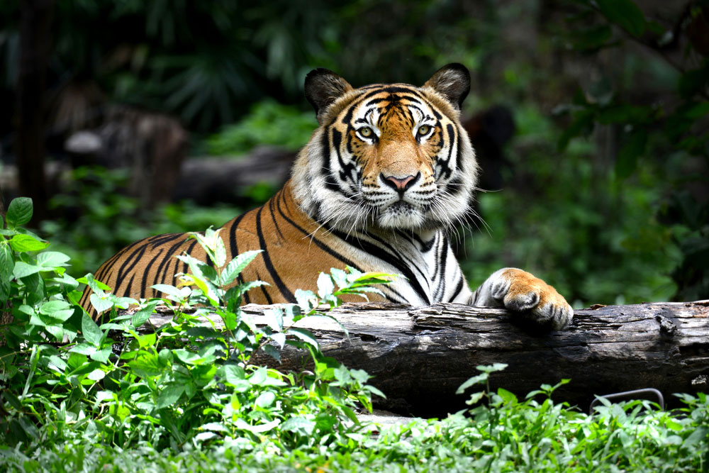 The tiger population in the eight sanctuaries distributed across India could increase from the current estimated count of 62 to 287, according to the study.