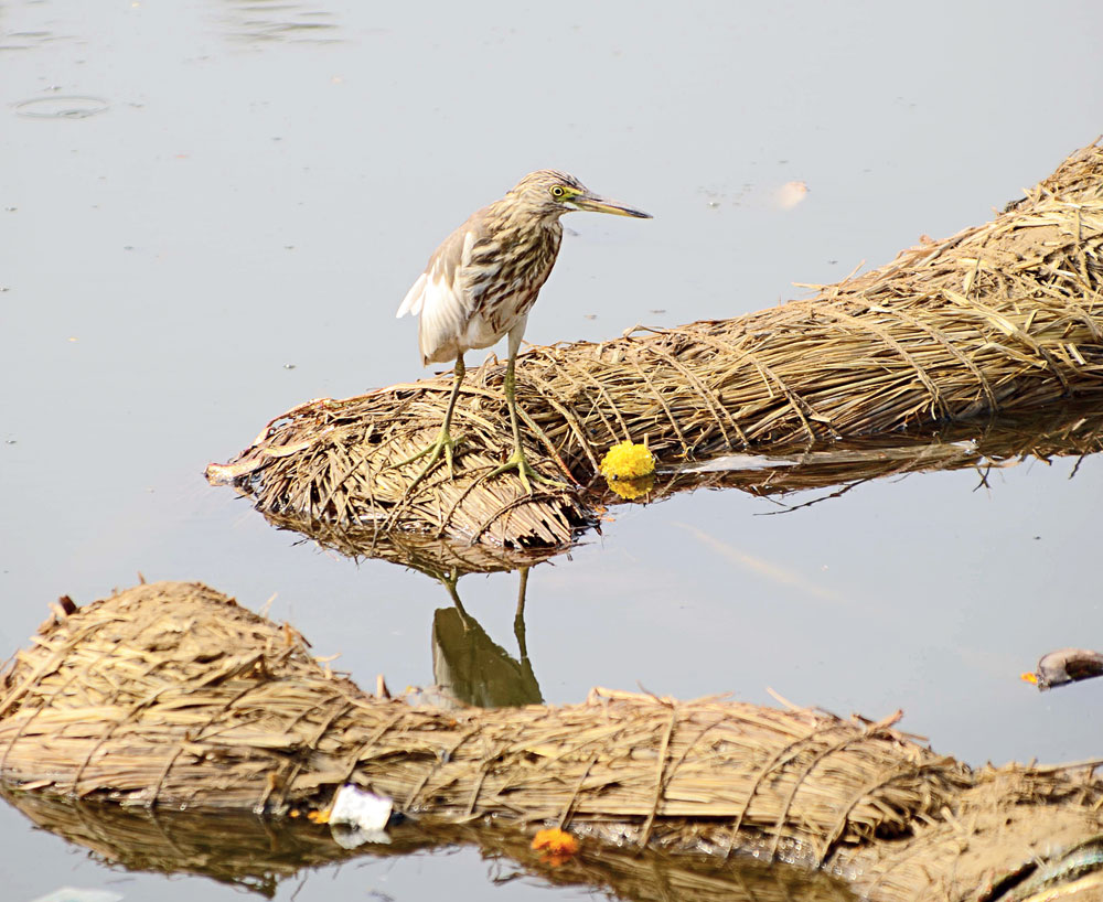 A pond heron finds perch on idol remains in Line Tank Talab in Ranchi on Monday.