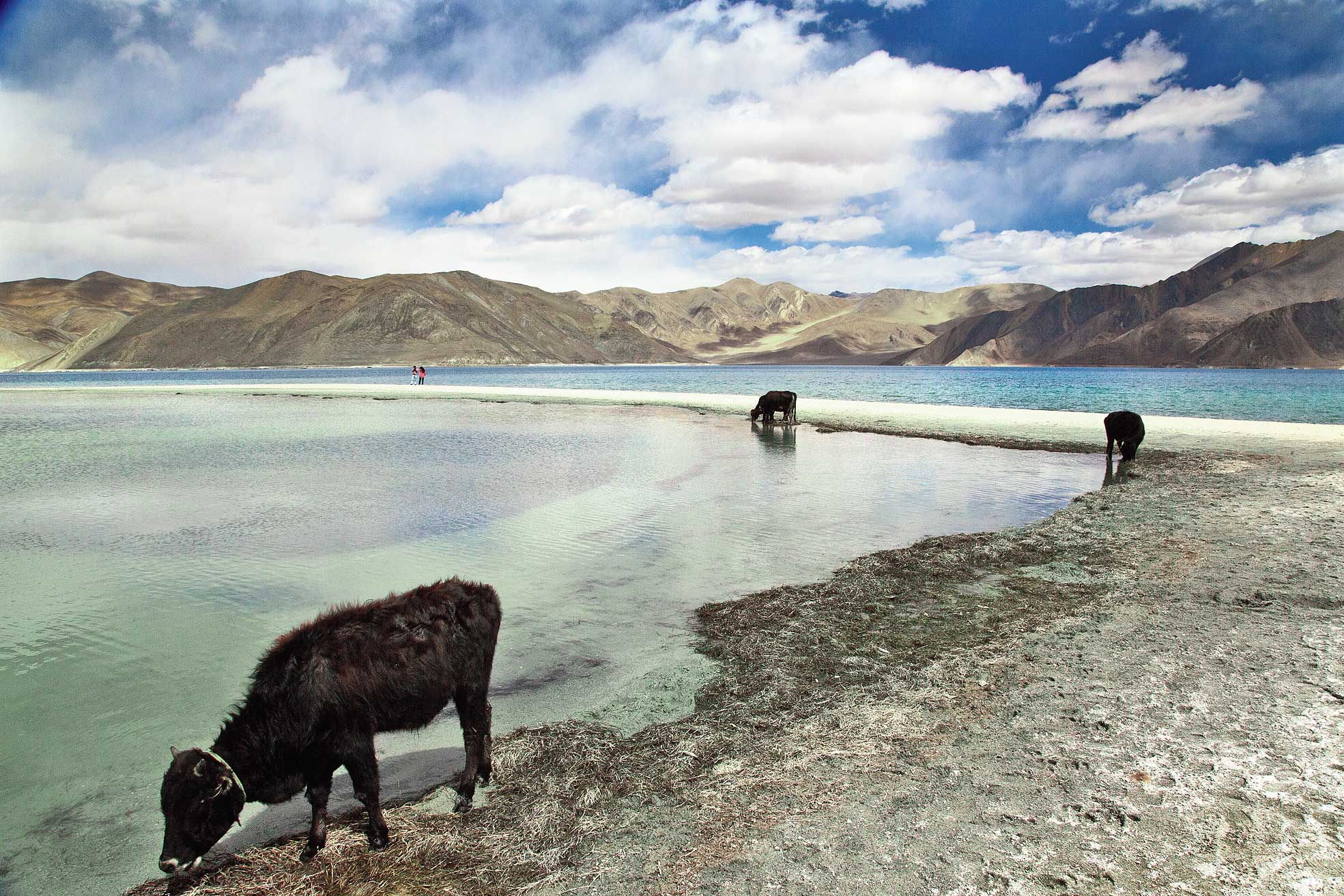 The picture taken on September 14, 2018, shows cattle drink water at Pangong Lake,  the site of several confrontations between India and China in Ladakh region.