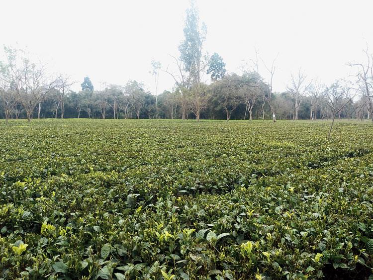 A tea garden in Upper Assam