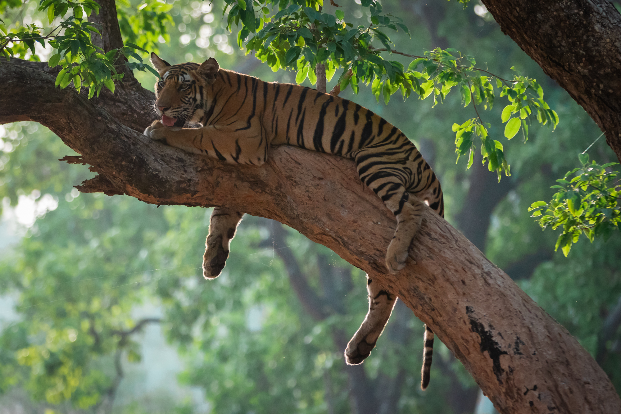 A fully grown male tiger can tip the scales at 250 kgs. This bulk makes it difficult for them to climb trees like leopards. But this young male  had no such issues. Location: Bandhavgarh