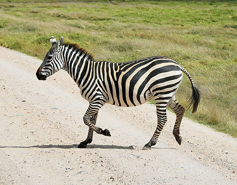 Zebra crossing! I couldn't stop myself from punning on this one.