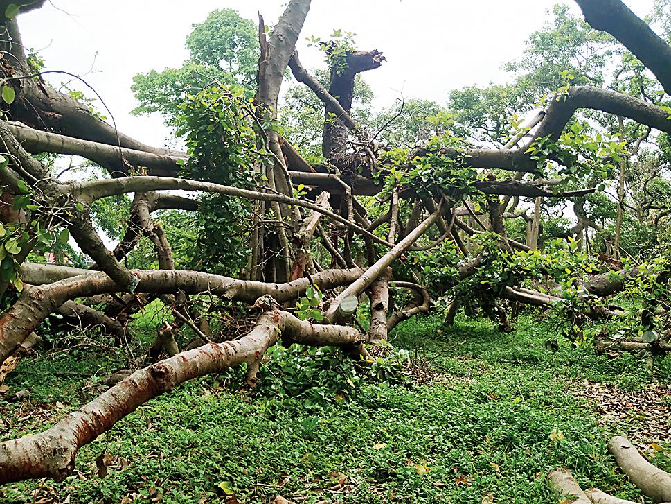 Broken prop roots of the Great Banyan.