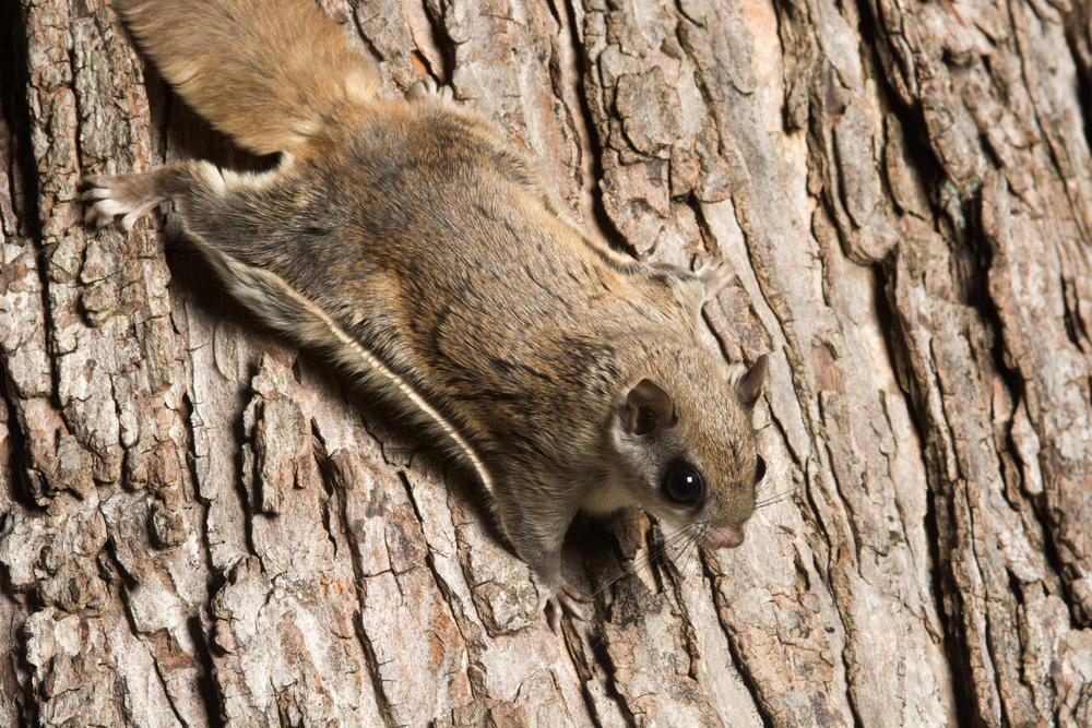 A flying squirrel