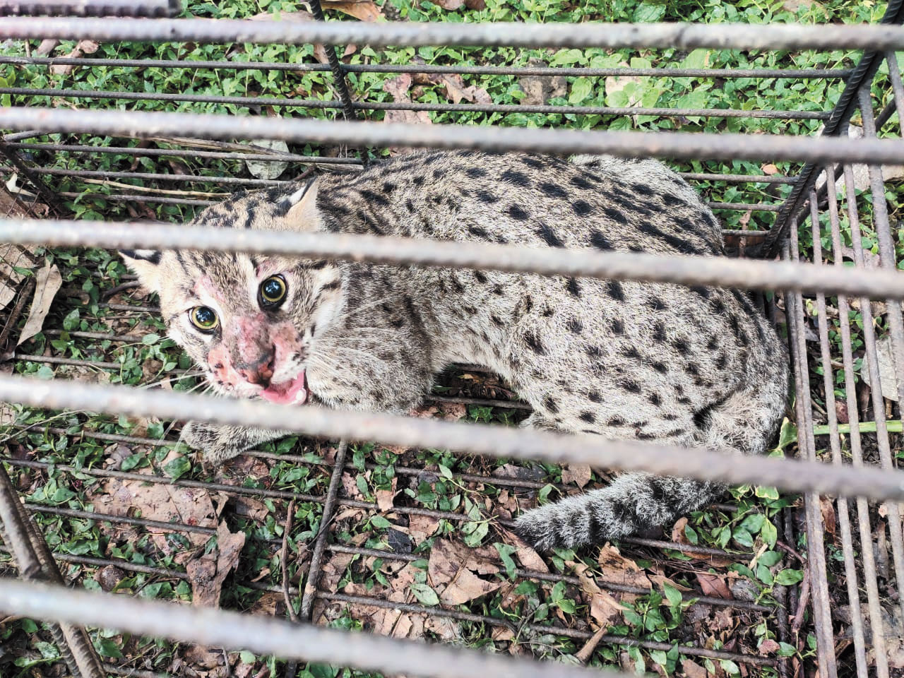 A fishing cat that was trapped and later killed by residents of a village in West Midnapore on June 10
