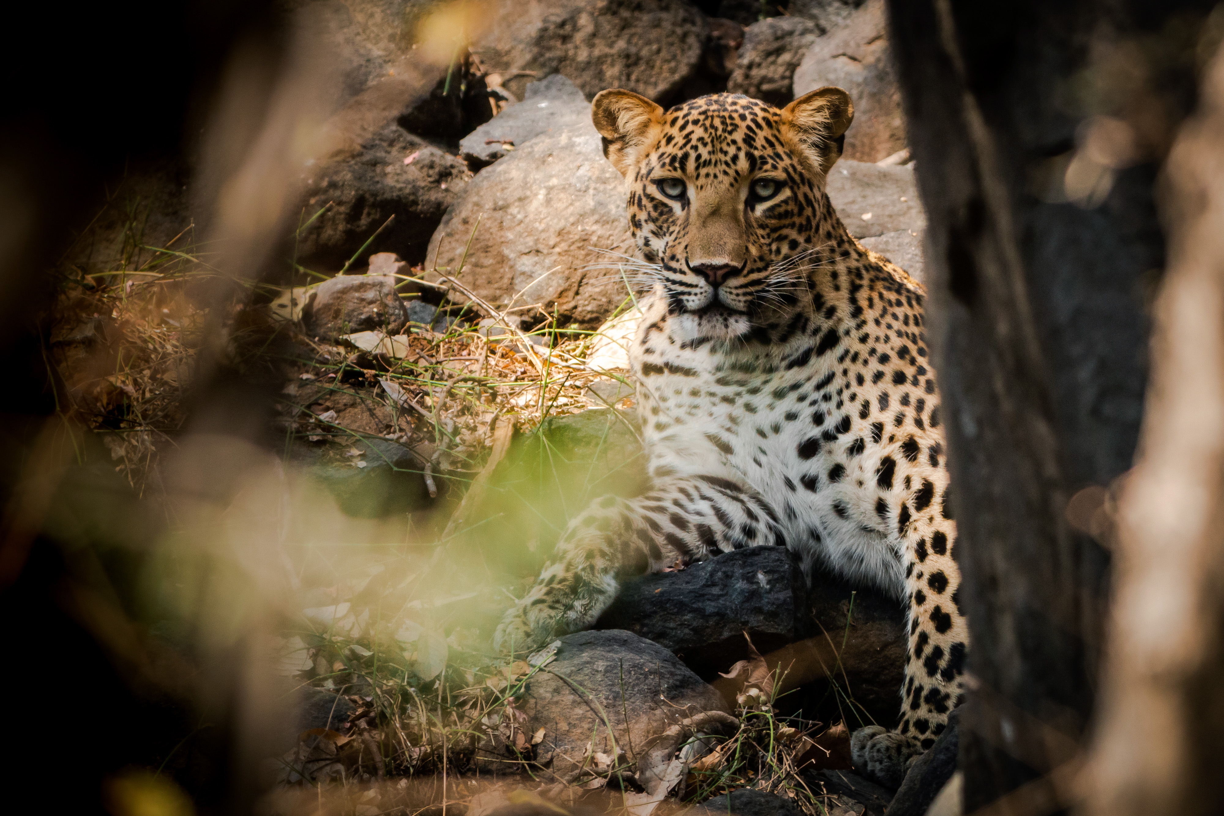A bold male leopard, rests in the shade in Ranthambhore National Park. Leopards are usually shy, and disappear the moment they hear a vehicle, but this one stayed put, posing for the camera