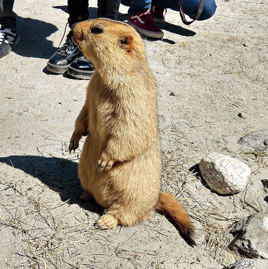 Marmots — friendly squirrel-like animals - pose for pictures