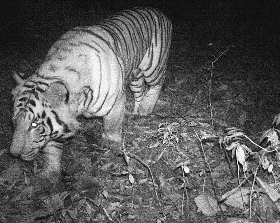 The picture of the royal Bengal tiger captured by a camera trap at the Pangolakha Wildlife Sanctuary.