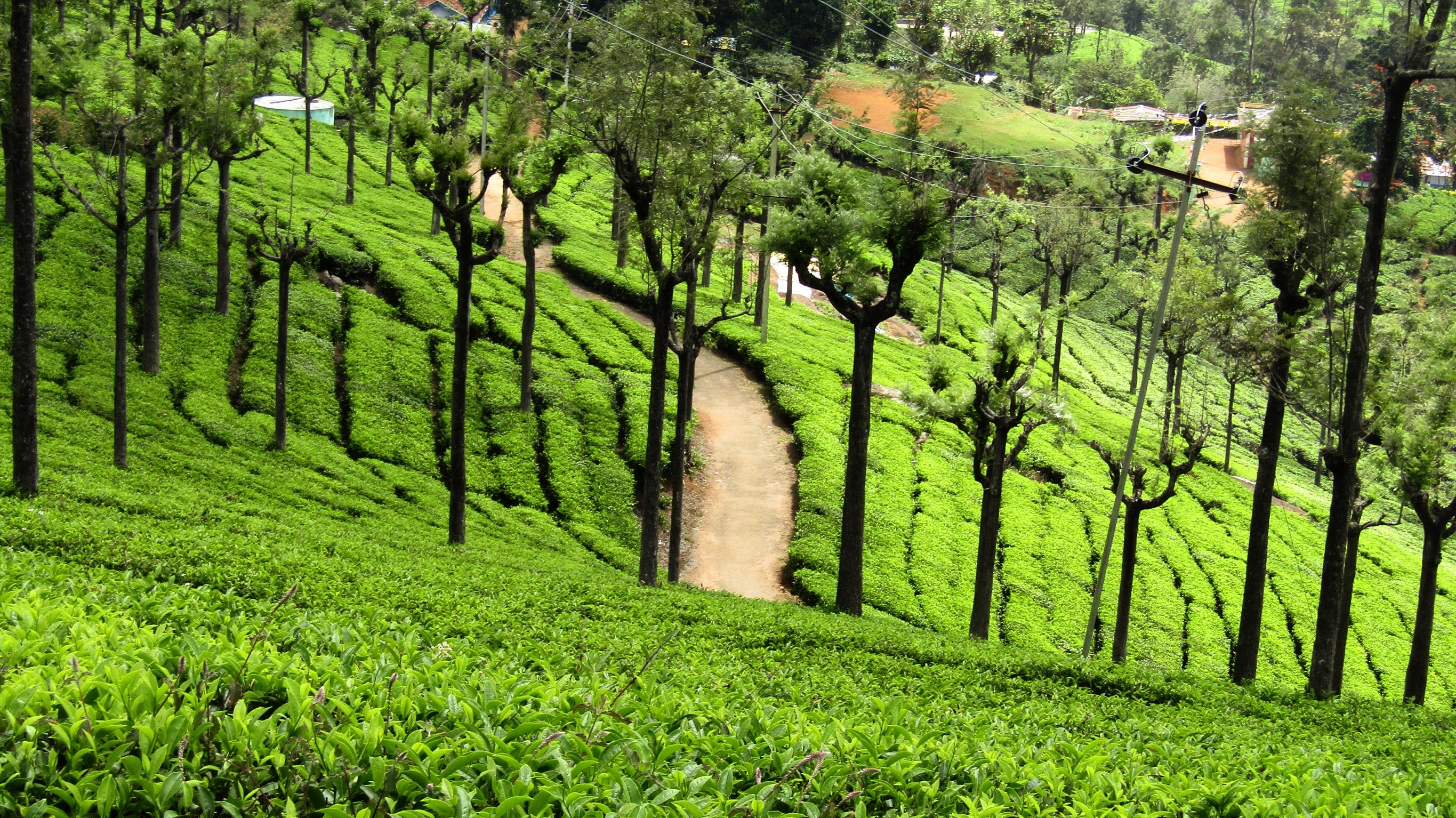 A tea estate in Ooty