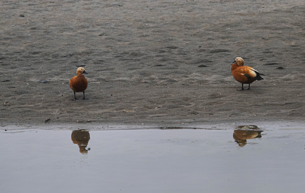 A pair of migratory Ruddy Shelducks stand on the banks of the river Brahmaputra on the outskirts of Gauhati