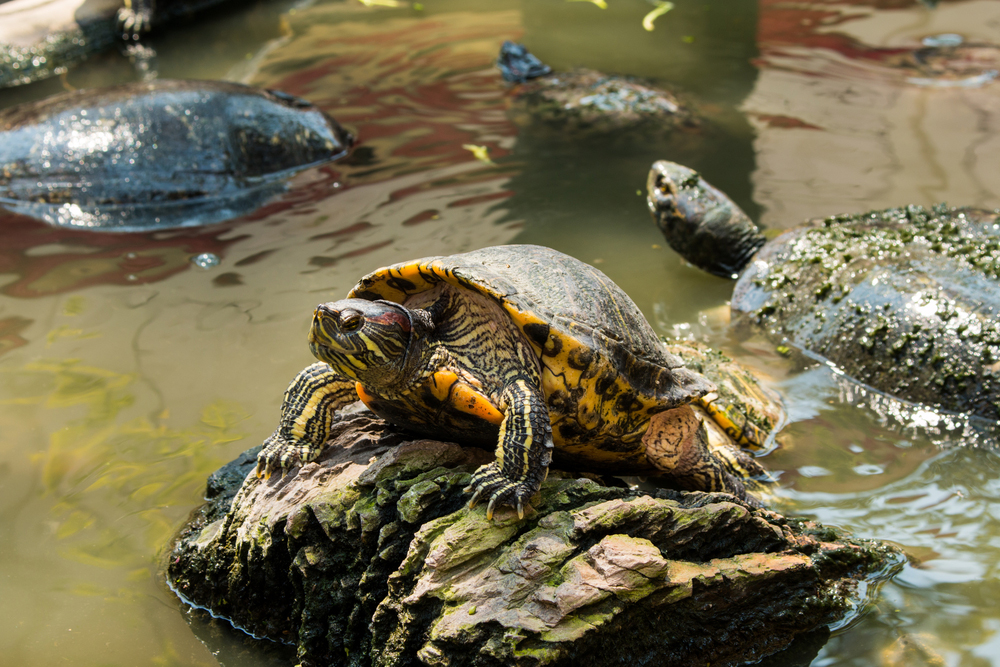 Freshwater turtles. The Indian star tortoise, in particular, is in high demand
