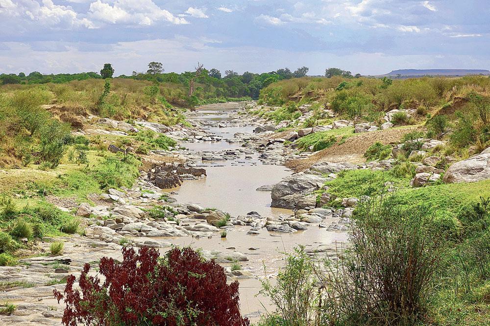 A dazzle of zebras stroll across Talek River